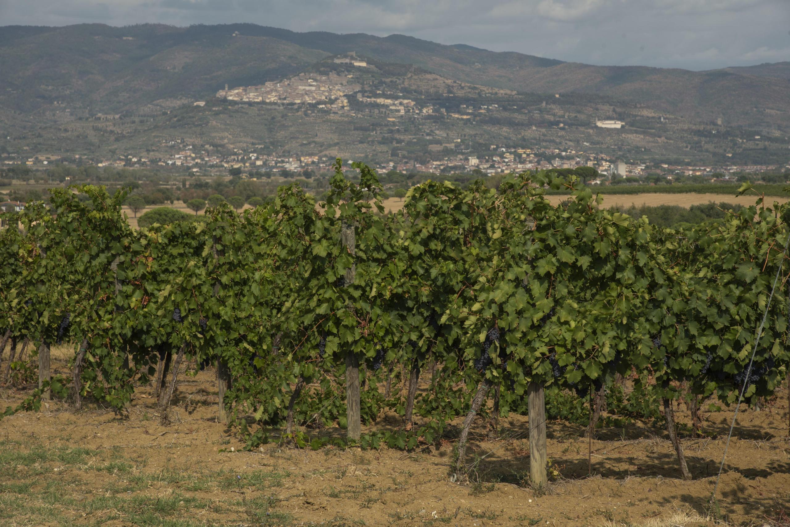 cortona wine